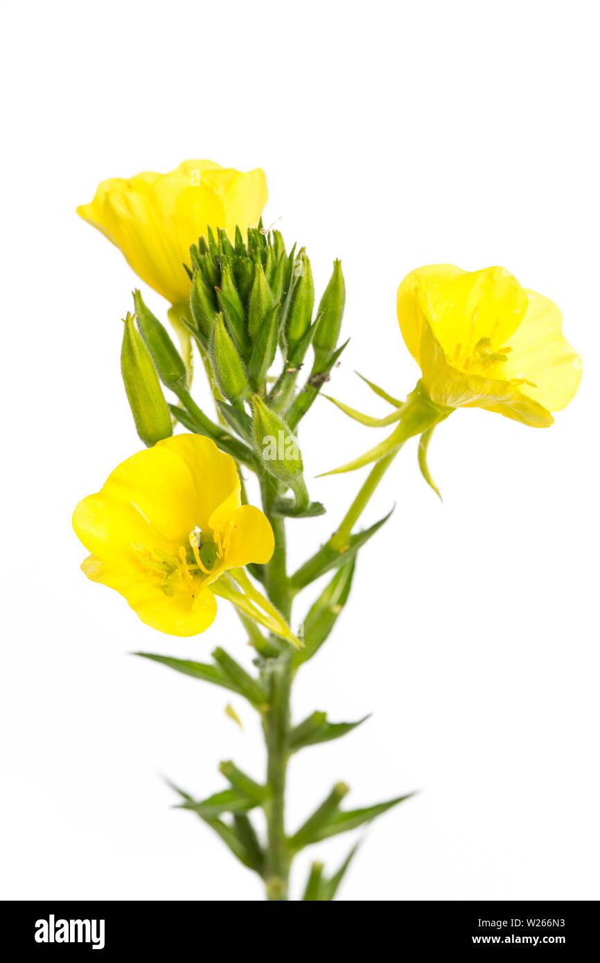 healing / medicinal plants: Gewöhnliche Nachtkerze (oenothera biennis) isoliert auf weißem Hintergrund - Stock Image