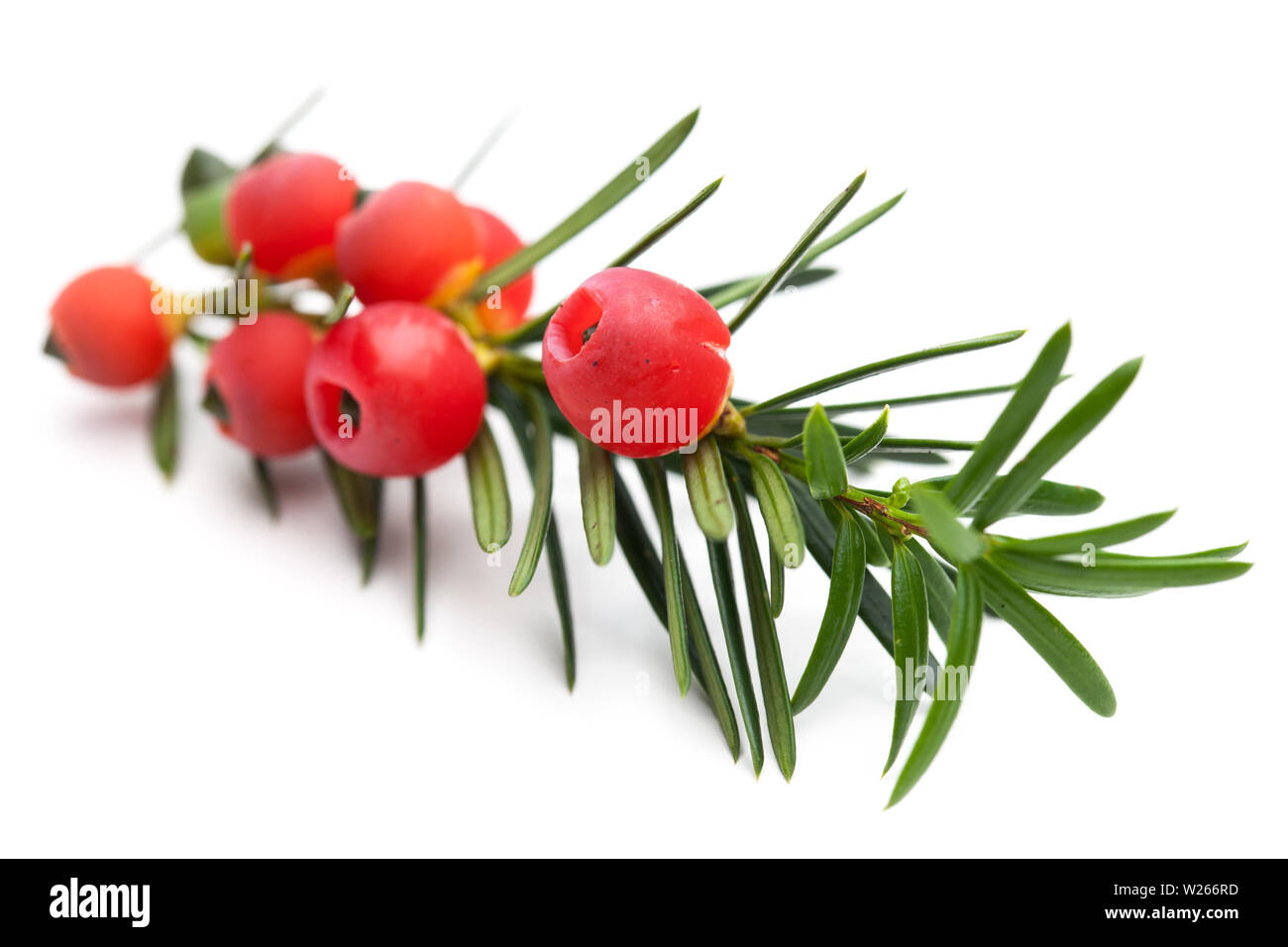 healing / medicinal plants: healing plants: Branch of a yew (Taxus baccata) with berries - Stock Image