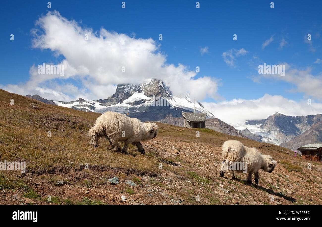 Small herd of sheep in swiss alps - Stock Image