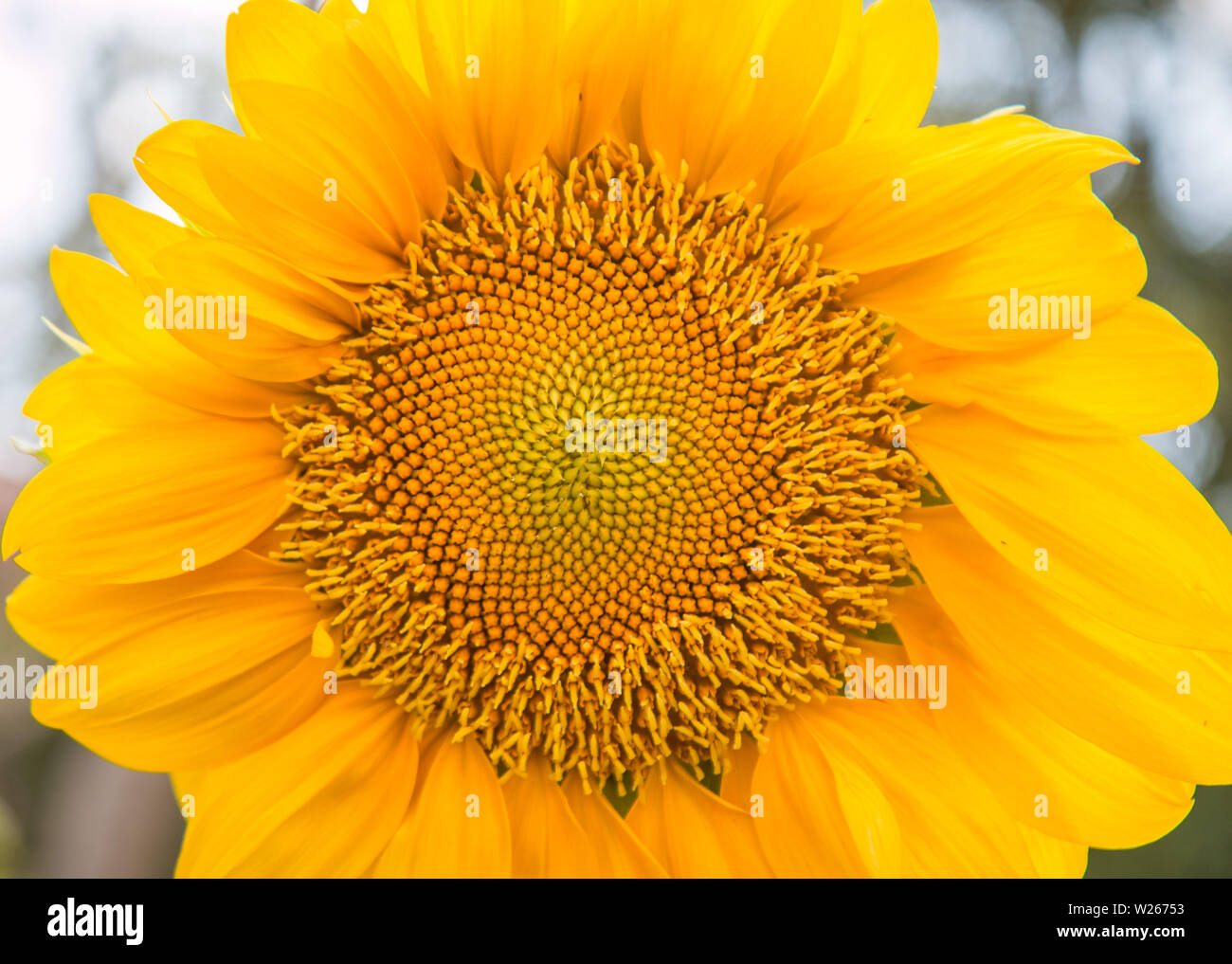 It is an annual plant in the family Asteraceae with a large flower head - Stock Image