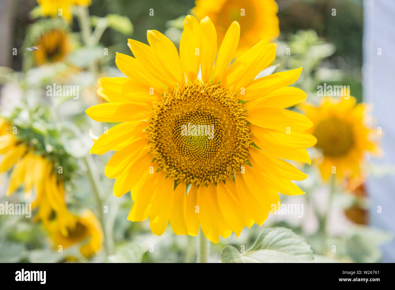 Sunflowers or Helianthus annuus field in the garden - Stock Image