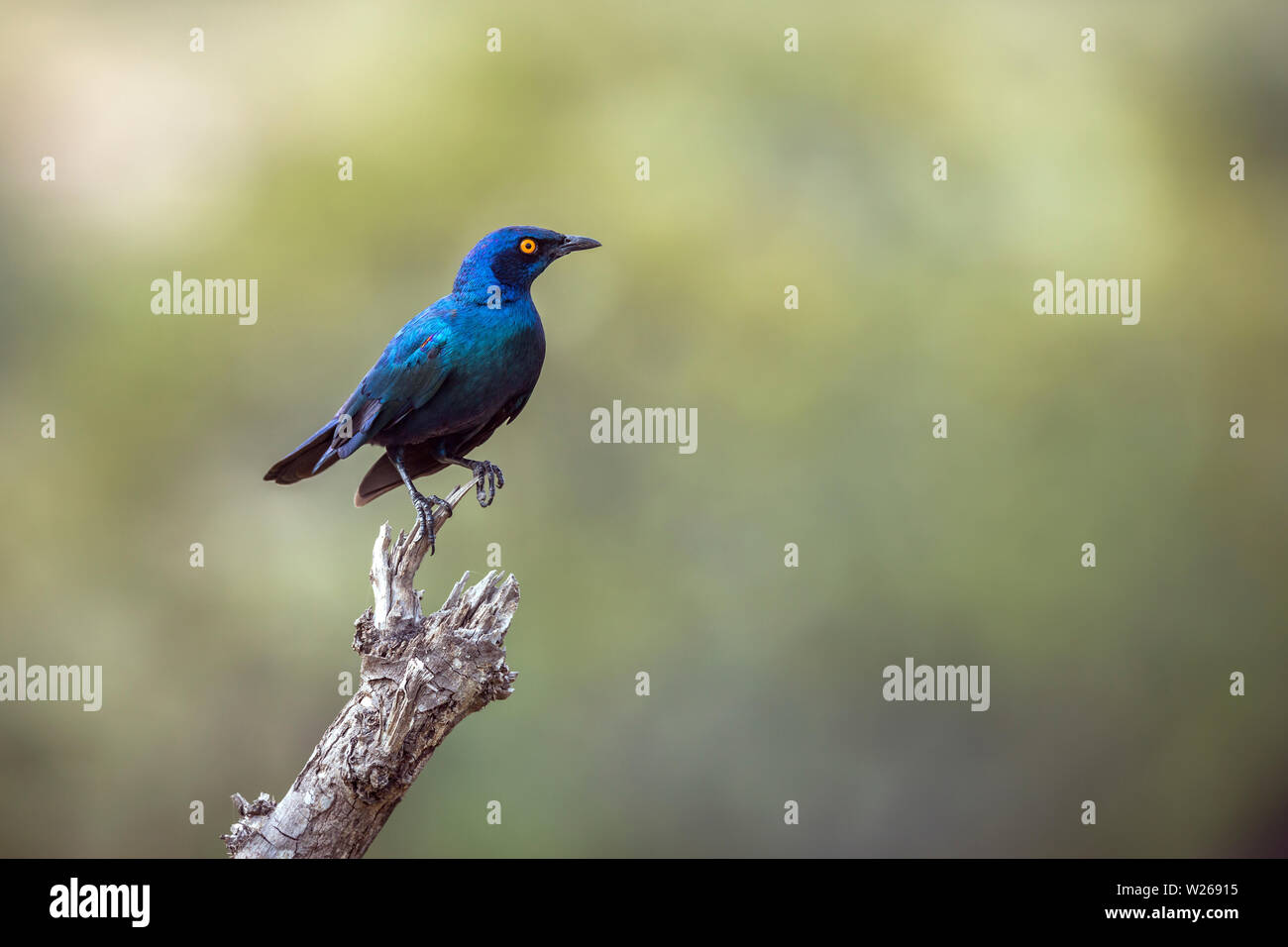 Greater Blue-eared Glossy Starling isolated in natural background in Kruger National park, South Africa ; Specie Lamprotornis chalybaeus family of Stu Stock Photo
