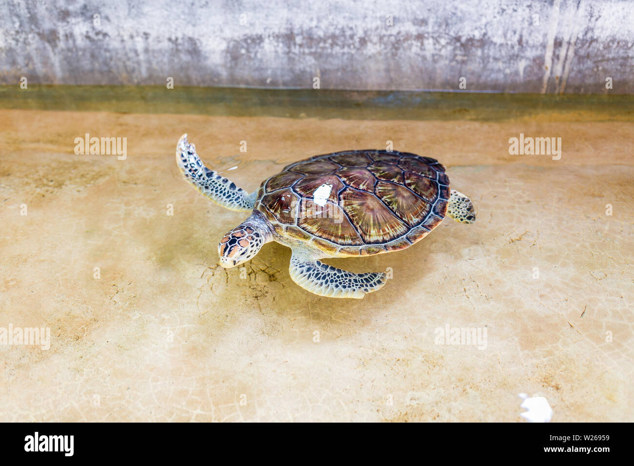 Sea turtle swims in the open pool. Turtle is brown color. Rehabilitation Center to restore the number of turtles, Thailand - Stock Image