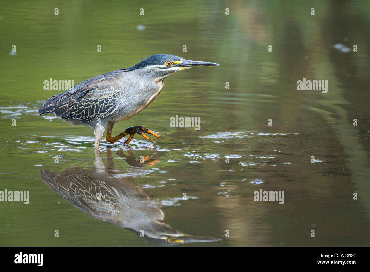 Green backed heron wadding with reflection in Kruger National park, South Africa ; Specie Butorides striata family of Ardeidae Stock Photo