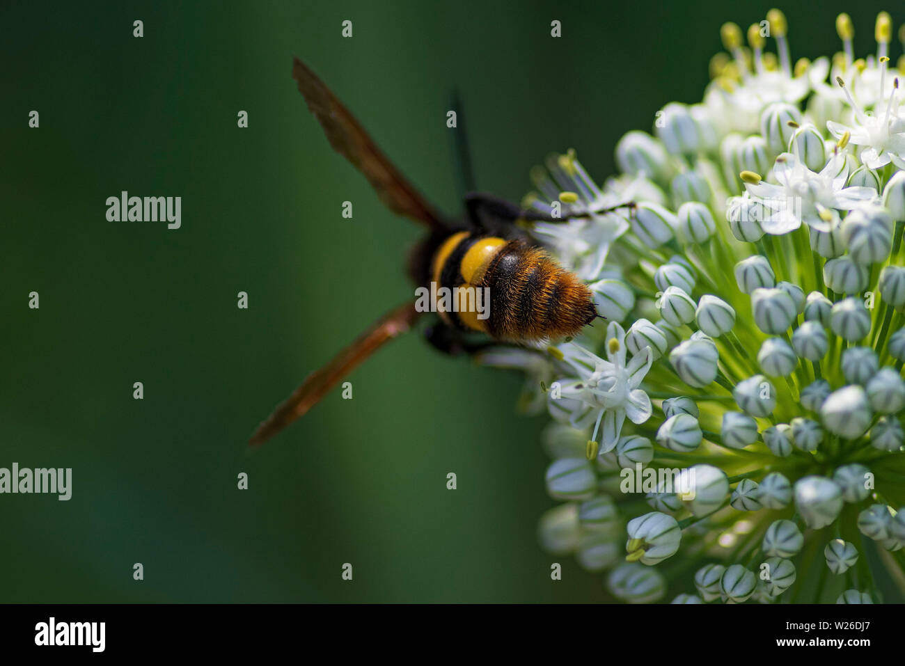 Scola lat. Megascolia maculata lat. Scolia maculata is a species of large wasps from the family of scaly .Megascolia maculata. The mammoth wasp. Scola - Stock Image