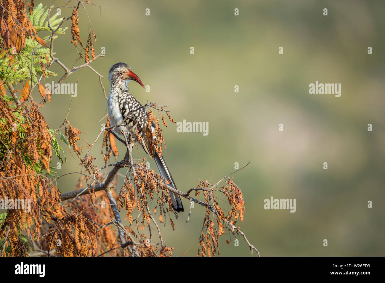 Southern Red billed Hornbill isolated in natural background in Kruger National park, South Africa ; Specie Tockus rufirostris family of Bucerotidae Stock Photo