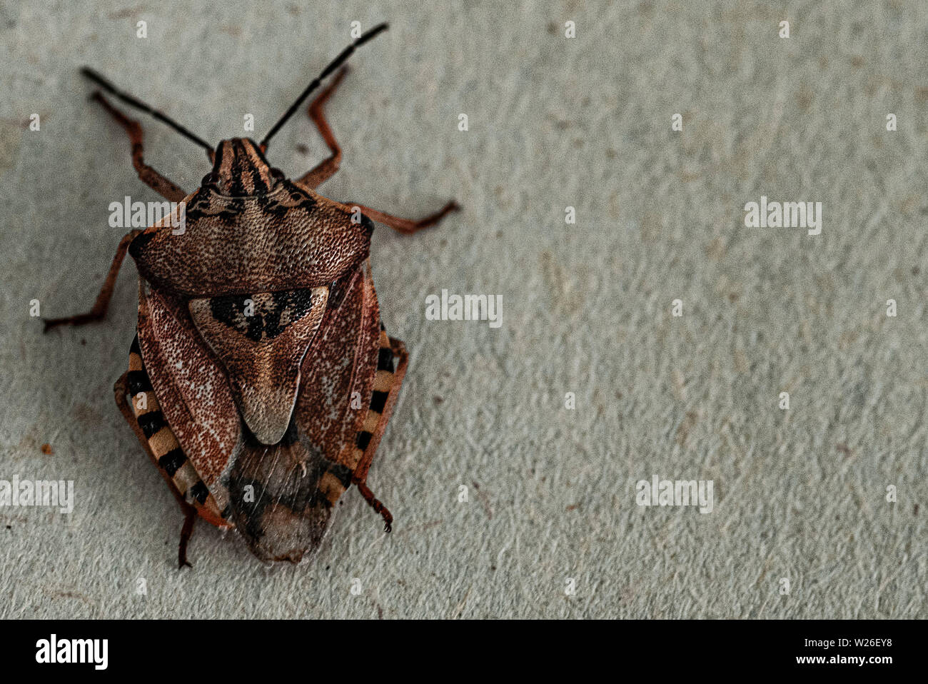 Insects are small.Brown marmorated stink bug Halyomorpha halys. On plain background with copyspace,on gray background close up.Insects are small Stock Photo