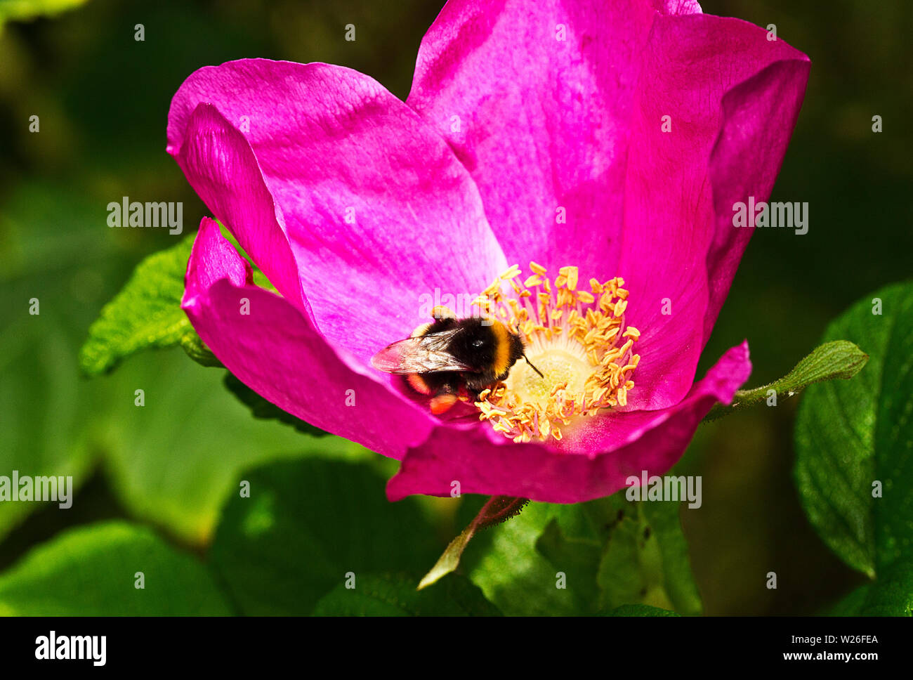 When a White-tailed Bumble Bee alights on a flower such as this Rosa rugosa the pitch of the noise generated by its wing beats alters and the anthers - Stock Image