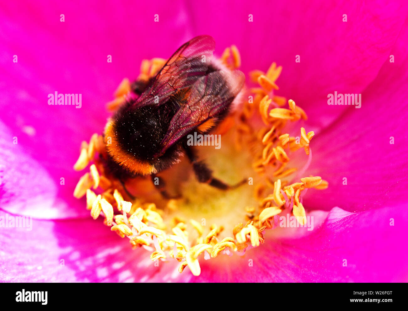 When a White-tailed Bumble Bee alights on a flower such as this Rosa rugosa the pitch of the noise generated by its wing beats alters - Stock Image