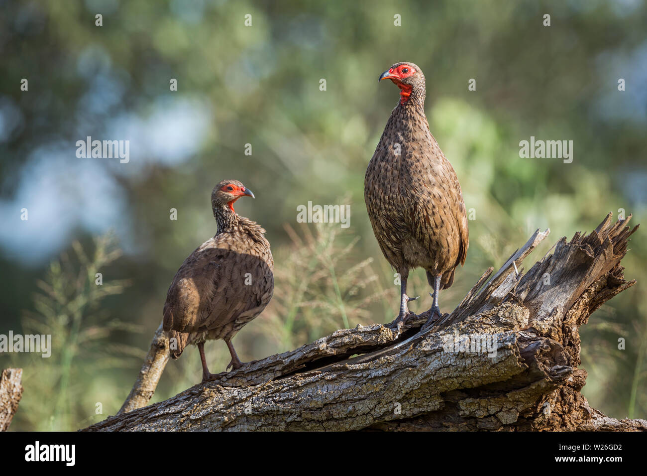 Couple of Swainson's Spurfowl perched on log in Kruger National park, South Africa ; Specie Pternistis swainsonii family of Phasianidae Stock Photo