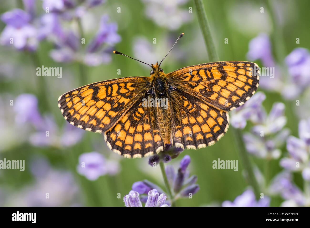Heath fritillary (Melitaea athalia) is a butterfly of the family Nymphalidae. Here sucking nectar on a  lavender in June, Uppland, Sweden Stock Photo