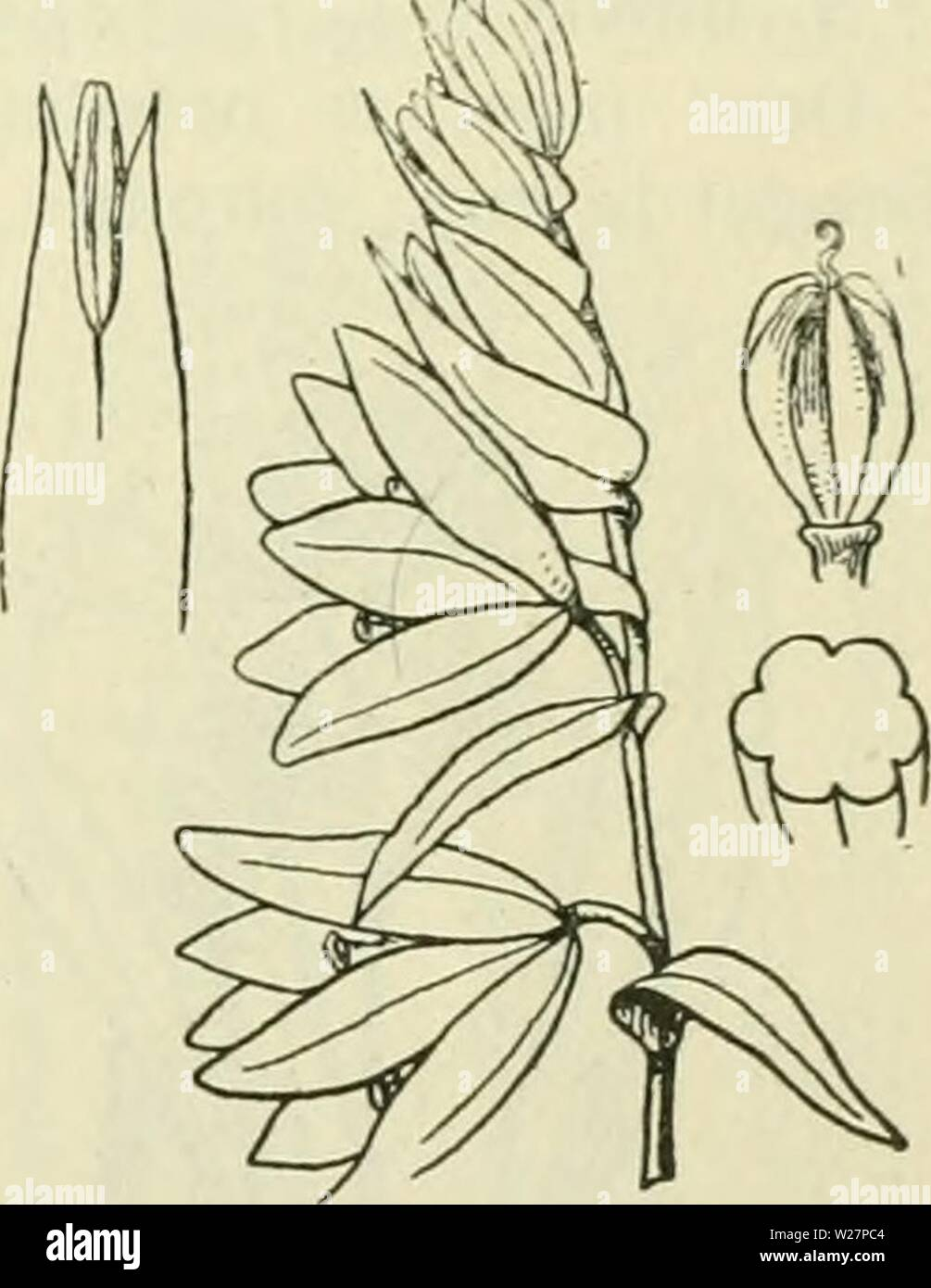 Archive image from page 304 of De flora van Nederland (1909-11). De flora van Nederland  defloravannederl01heuk Year: 1909-11.  FAMILIE 10. — LILIACEAE. — 263 Biologische bijzonderheden. De blocnicn sluiten zich des nachts en bij regen. Zij zijn onvolkomen proterogynisch. De binnenste krans meeldraden is langer dan de andere, zij gaan het eerst, de andere een dag later open. In de pas geopende bloem staan alle schuin naar buiten en staan 3 mM van den stempel af. Zoolang dit zoo blijft, is de bloem op kruisbestuiving aangewezen. Doch tegen het einde van den bloeitijd gaan ze naar het midden toe - Stock Image