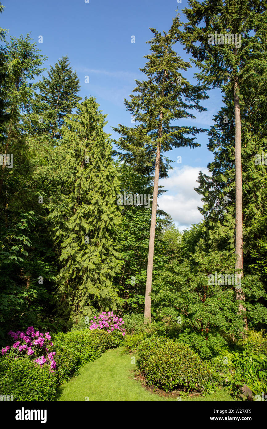 Issaquah, Washington, USA.  Landscaped Pacific Northwest backyard with Deep Pink Rhododendrons blooming and blue sky. - Stock Image