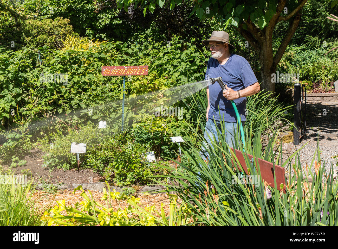 Man hand-watering his vegetable and flower garden in Bellevue, Washington, USA - Stock Image