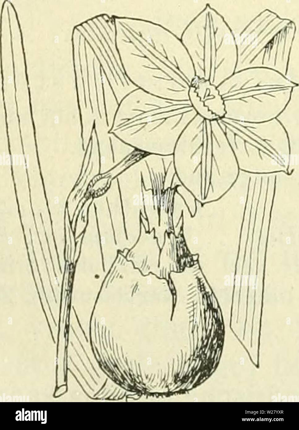 Archive image from page 331 of De flora van Nederland (1909-11). De flora van Nederland  defloravannederl01heuk Year: 1909-11.  290 — AMARYILLIDACEAE. — FAMILIE 11. vormige buis, een regelmatigen 6-deeligen zoom en een bijkroon aan de keel. Meeidraden 6, gelijk of ongeHjk, op de buis van het bioemdek inge- plant onder de bijkroon, waarboven zij niet uitsteken, met aan den voet bevestigde, overlangs openspringende helmknopjes. Stijl draadvormig, stempel ongedeeld. Vrucht iets driehoekig. Bloemen groot, geel of wit, welriekend, knikkend of hangend, alleen- staand of in een scherm, uit een eenbla - Stock Image