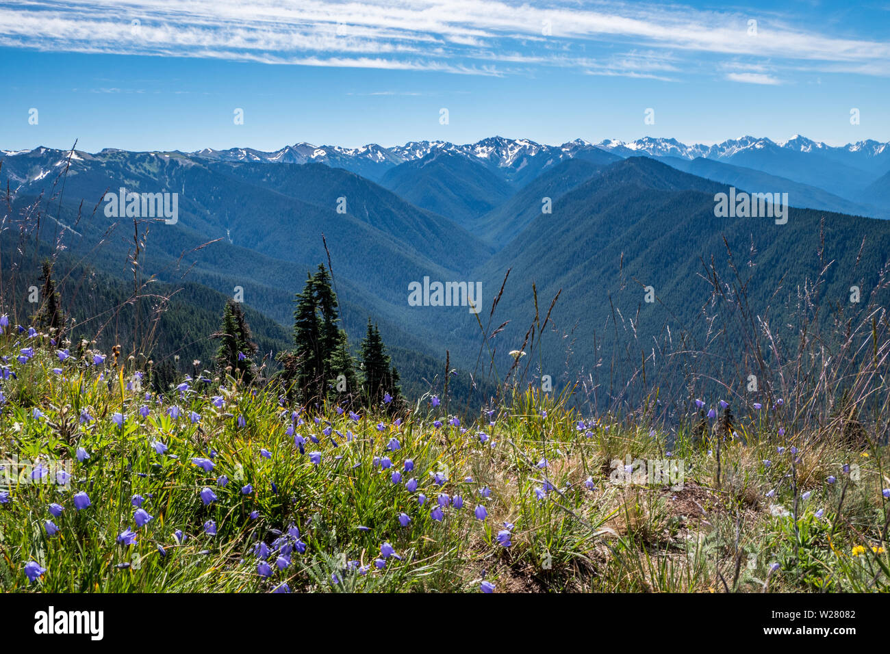 Hurricane Ridge, Olympic National Park, Washington, USA.  View of lupines on a mountain hiking trail. Stock Photo