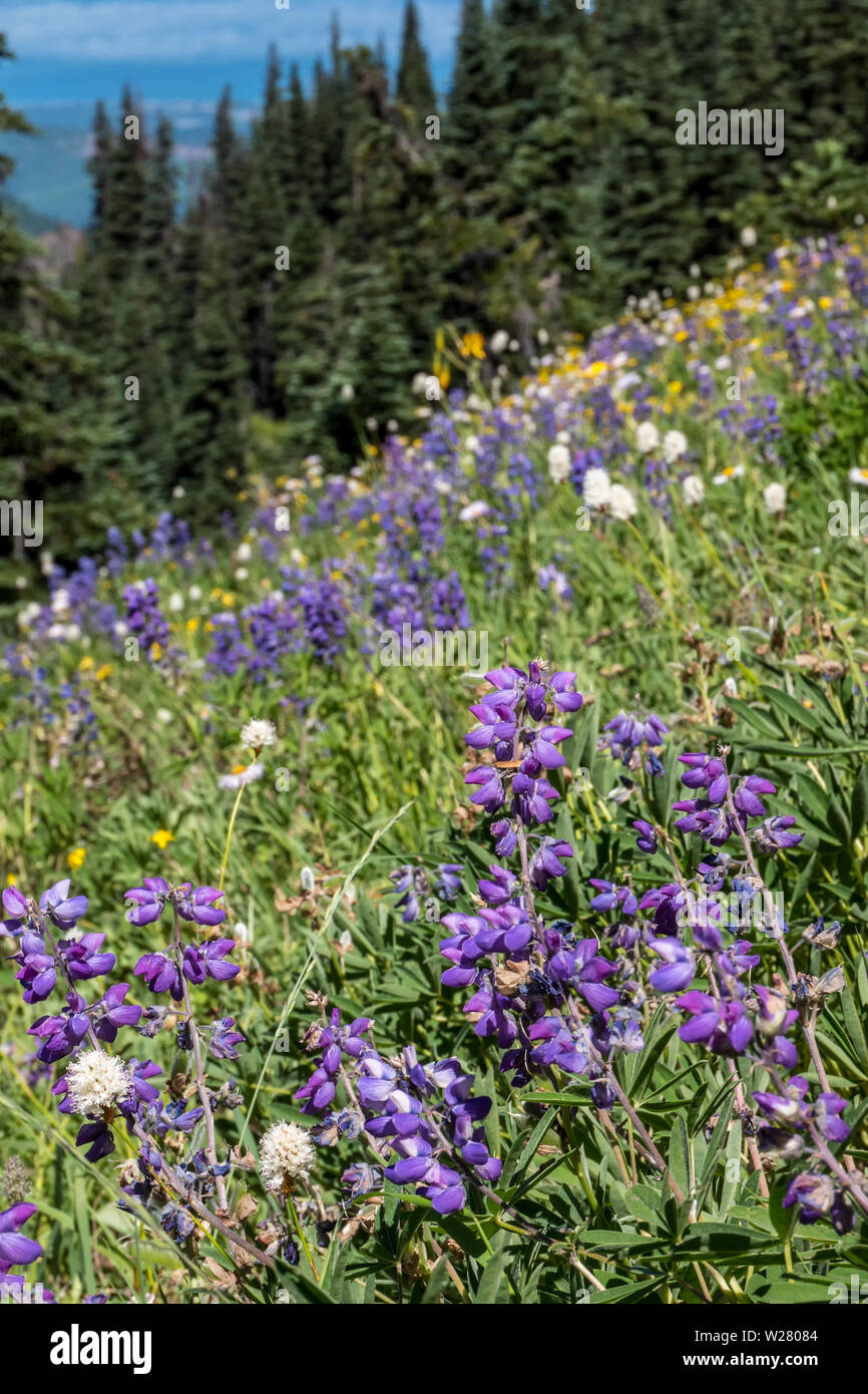 Hurricane Ridge, Olympic National Park, Washington, USA.  Lupine and American Bistort wildflowers on a steep mountainside. Stock Photo