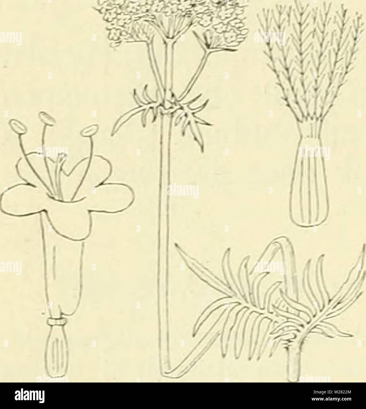 Archive image from page 343 of De flora van Nederland (1909-11). De flora van Nederland  defloravannederl03heuk Year: 1909-11.  324 â VALERIANACEAE. FAMILIE 107.    slechts half zoo groot. Helmknopjes vaak onvolkomen. Stijl korter dan de bloemkroon met 3-5-spIeligen stempel. 3' Bloemkroon nog kleiner. Stijl even lang als of langer dan deze, overigens als 2'. De 2e en 3e vorm dragen vrucht. Bijl' is het bijscherm losser dan .bij de andere. Wortelstok kruipend. Wortelbladen rondachtig-eirond tot elliptisch. Bovenste stengelbladen meest 7-tallig vindeelig .... V. dioica blz. 325. V. officinalis 1 - Stock Image