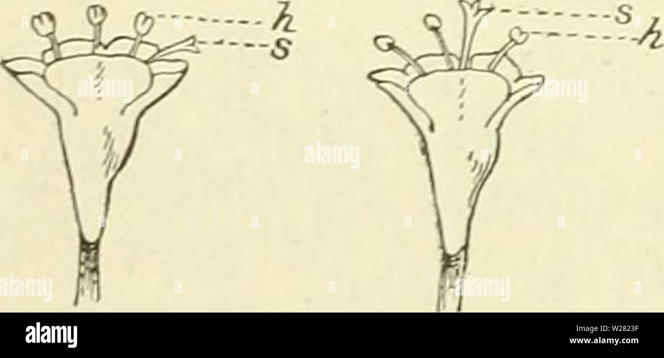Archive image from page 343 of De flora van Nederland (1909-11). De flora van Nederland  defloravannederl03heuk Year: 1909-11.  slechts half zoo groot. Helmknopjes vaak onvolkomen. Stijl korter dan de bloemkroon met 3-5-spIeligen stempel. 3' Bloemkroon nog kleiner. Stijl even lang als of langer dan deze, overigens als 2'. De 2e en 3e vorm dragen vrucht. Bijl' is het bijscherm losser dan .bij de andere. Wortelstok kruipend. Wortelbladen rondachtig-eirond tot elliptisch. Bovenste stengelbladen meest 7-tallig vindeelig .... V. dioica blz. 325. V. officinalis 1) L. Valeriaan (fig. 400). Deze plant - Stock Image