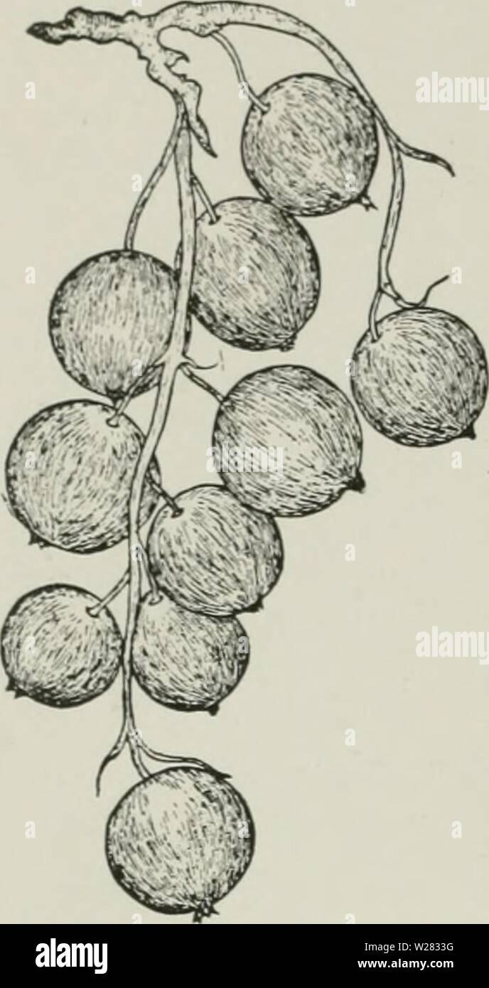 Archive image from page 351 of Cyclopedia of hardy fruits (1922). Cyclopedia of hardy fruits  cyclopediaofhar00hedr Year: 1922  306 COMMON BLACK DESERET Bushes large, vigorous, spreading, productive; canes numerous, rather slender. Leaves large, dull green, pubescent, resinous on the under side; margins hairy, coarsely serrate. Flowers late. Fruit late; clusters rather short, loose, tips well filled ; Ix-rries fi-lO, ding well, medium to large, round, black; skin opaque, glandular, thin ; flesh firm, rather dry, yellowish, tinged red at the skin, sprightly, rich, aromatic; quality very good ; - Stock Image