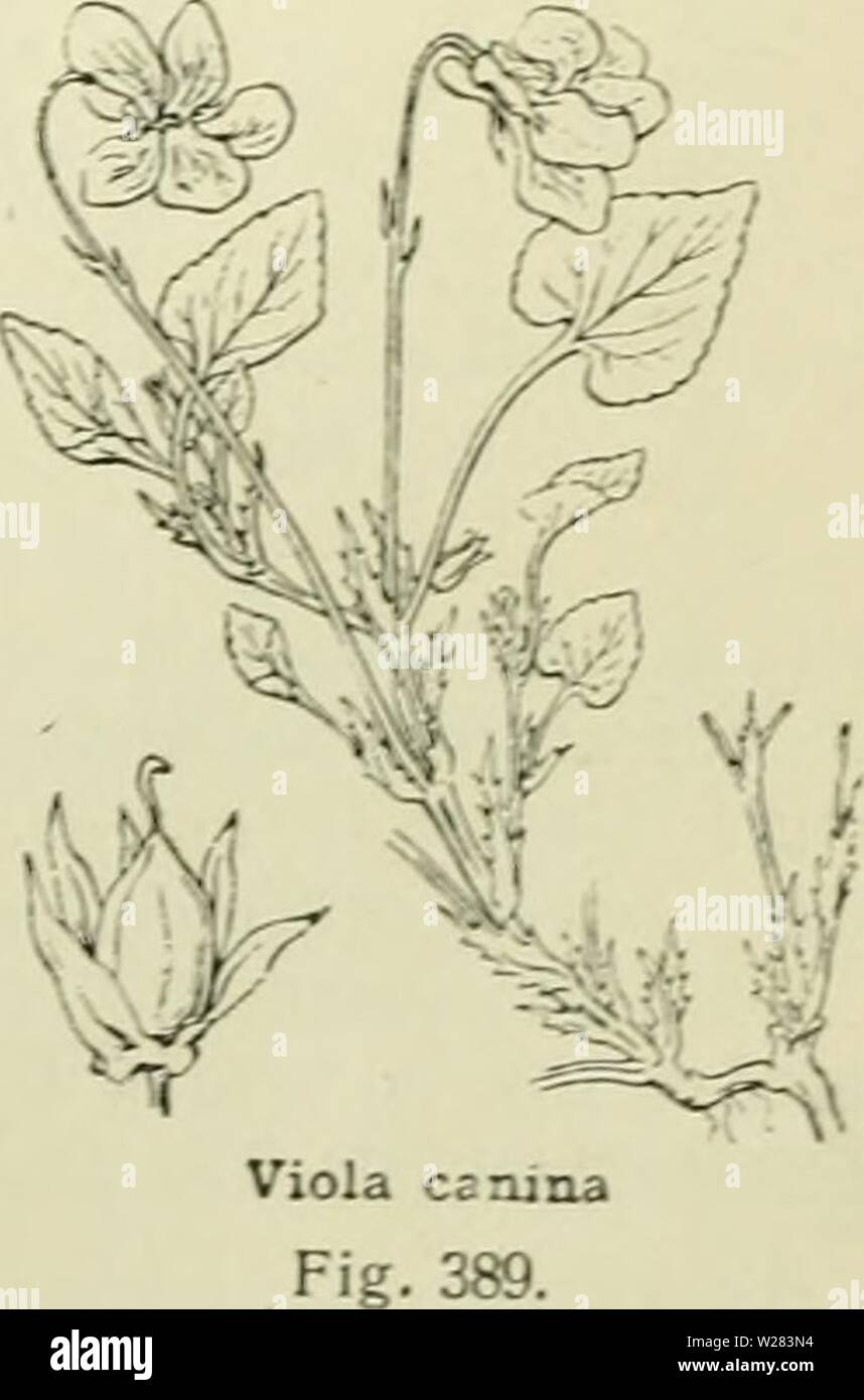 Archive image from page 354 of De flora van Nederland (1909-11). De flora van Nederland  defloravannederl02heuk Year: 1909-11.  FAMILIE 41, — VIOLACEAE. — 323 sterke geur is een lokmiddel voor de insecten. De bioemkroon is in het midden wit gekleurd, op het onderste bioemkroonblad loopen door die witte vlek donkere aderen, die naar den ingang der spoor wijzen en als honigmerk dienst doen. Het stempeldragende einde van den stijl is haakvormig naar beneden gebogen (fig. 388), de eigenlijke stempel is de buitenoppervlakte van dien haak. Een insect, dat zich op het onderste bioemkroonblad zet, str - Stock Image