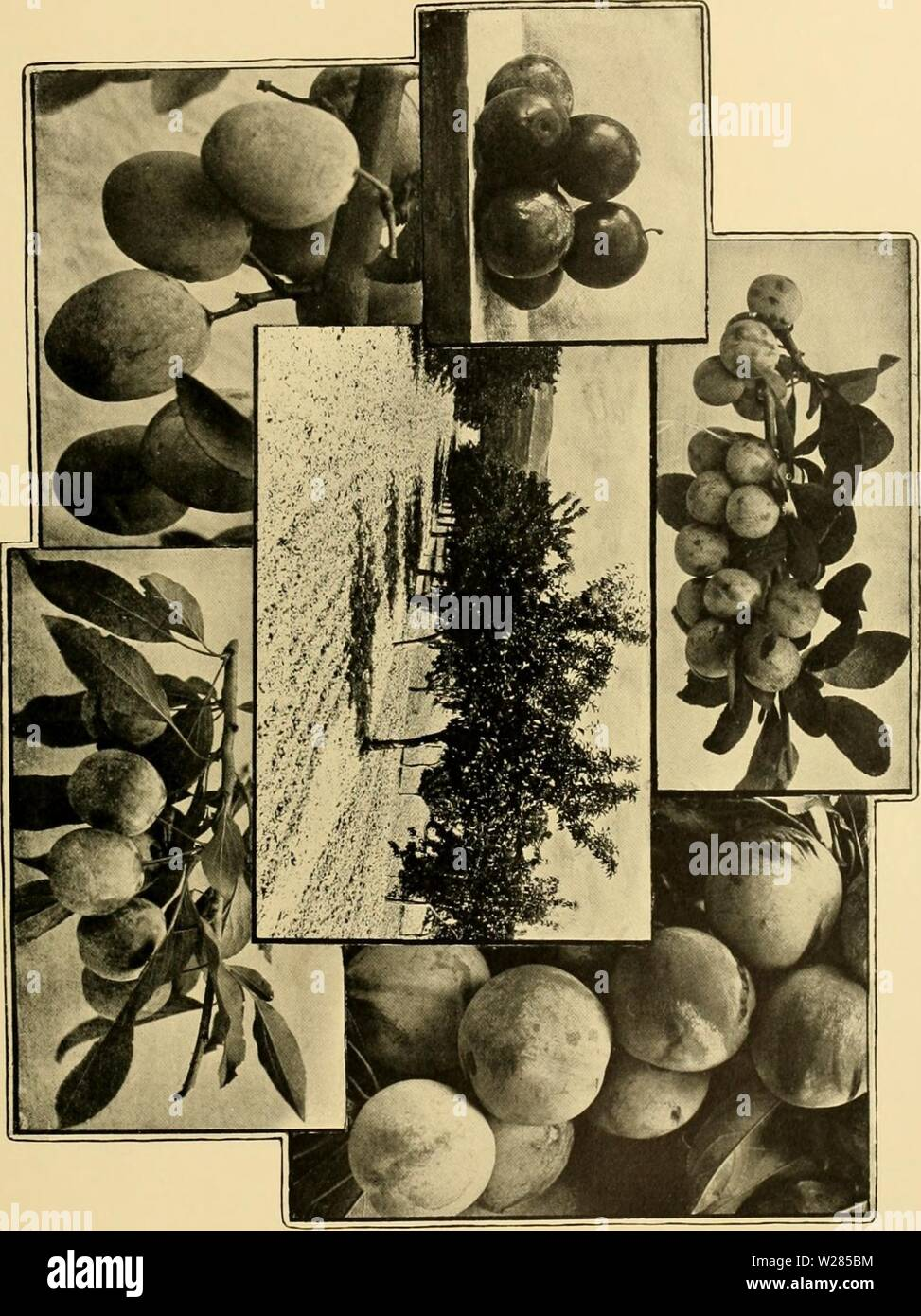 Archive image from page 364 of Cyclopedia of American horticulture . Cyclopedia of American horticulture : comprising suggestions for cultivation of horticultural plants, descriptions of the species of fruits, vegetables, flowers, and ornamental plants sold in the United States and Canada, together with geographical and biographical sketches  cyclopediaofame03bail Year: 1906 Stock Photo