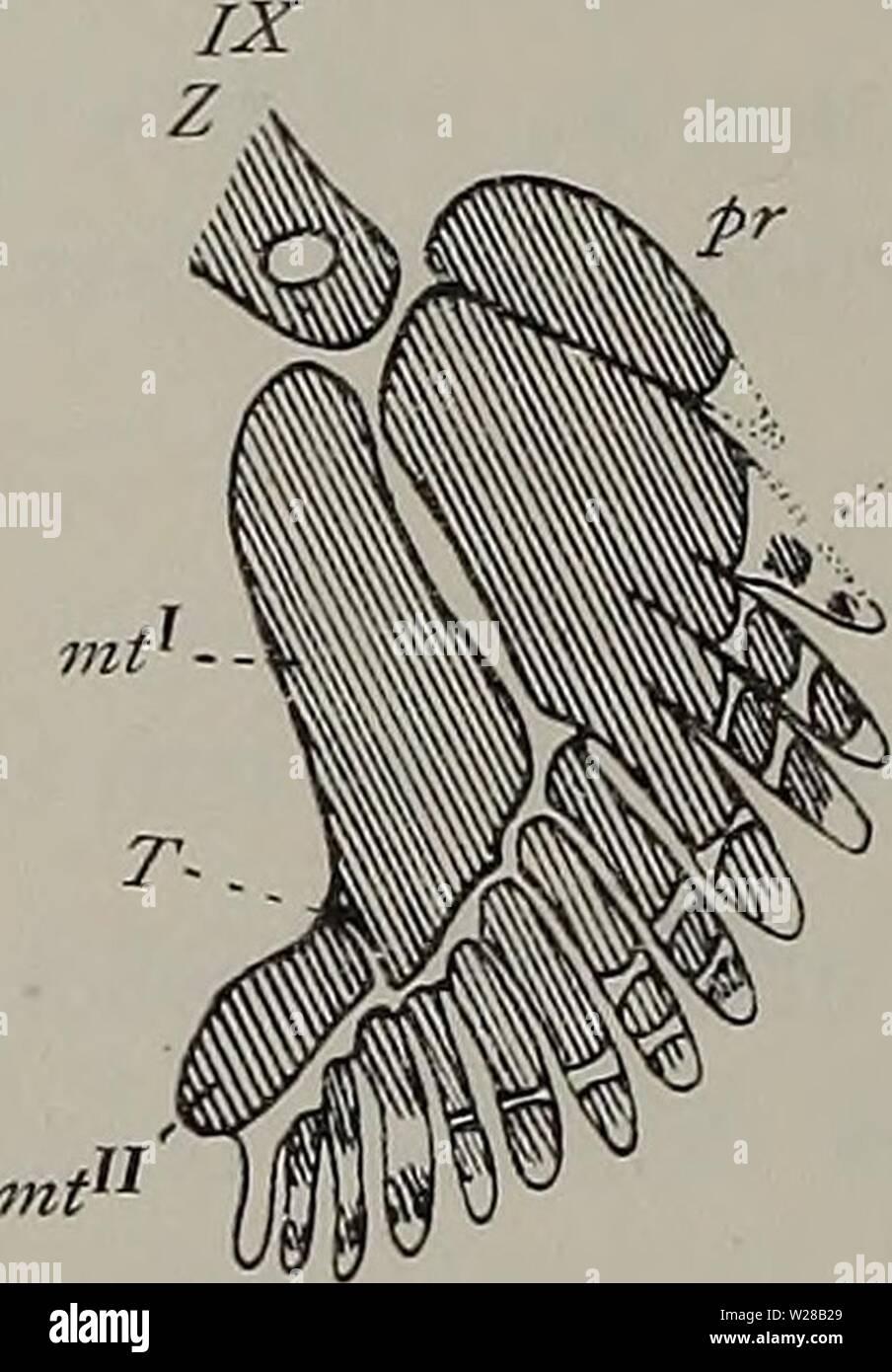 Archive image from page 405 of Denkschriften der Medicinisch-Naturwissenschaftlichen Gesellschaft zu. Denkschriften der Medicinisch-Naturwissenschaftlichen Gesellschaft zu Jena  denkschriftender1104medi Year: 1879  Fig. 2. Entwickelung des Skelettes der freien Brustflosse (Basipterygium) bei Spinax niger nach E. Rüge. Die weißen Partien bestehen aus Vor- knorpel, die schraffierten aus Knorpel. Erklärung der Bezeichnungen im Text. Die Maßangaben für die einzelnen Stadien sind im Original verzeichnet. Fig. 3. Knorpliges Brustflossenskelett eines Em- bryo von Spinax niger, 58 mm Länge (Stadium XI Stock Photo