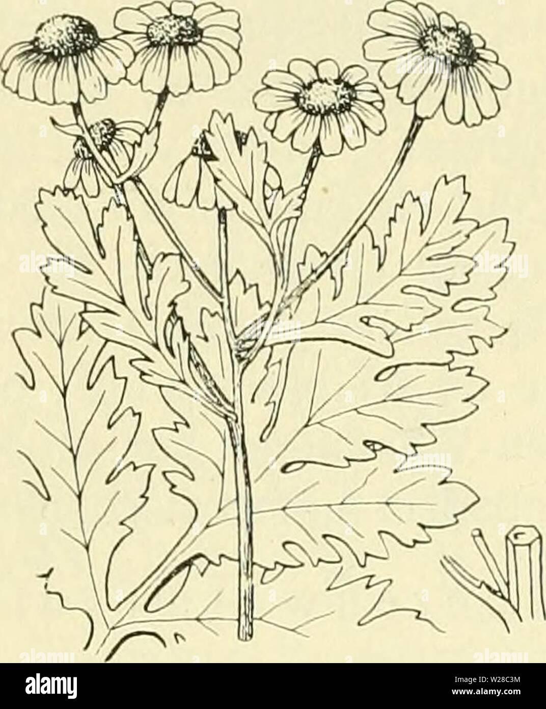 Archive image from page 413 of De flora van Nederland (1909-11). De flora van Nederland  defloravannederl03heuk Year: 1909-11.  394 â COMPOSITAE. â FAMILIE 109.    Volksnamen. In Friesland, Overijsel en de Graafschap Zutphen heet de plant wormkruid, in Oost-Drente, Overijsel en op Goeree boerenwormkruid, in Salland, Oost-Gelderland en Zuid-Limburg reinevaar, in Salland, de Oost-Veluwe en de Graafschap Zutphen pierekruid, in Salland ook gouden knoopjes, in Twente gingber, in Noord-Limburg reindersknoppen, in Zuid- Limburg kruidwesch en pinksterbloem, in geheel Limburg kroetmès, in Zeeuwsch-Vla Stock Photo