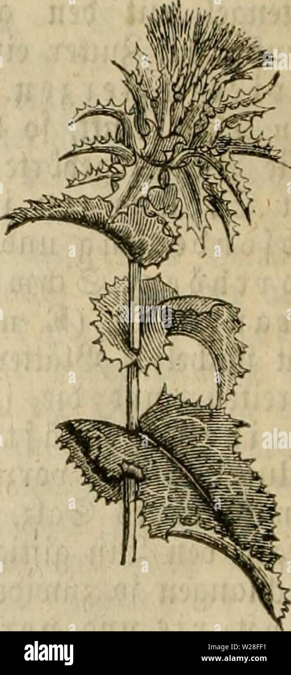 Archive image from page 445 of Das grosse illustrirte Kräuter-Buch . Das grosse illustrirte Kräuter-Buch : eine ausführliche Beschreibung aller Pflanzen, mit genauer Augabe ihres Gebrauchs, Nutzens und ihrer Wirkung in der Arzneikunde  dasgrosseillustr00muel Year: 1860  Âtcu- dinacea), laiicjcv, umvccbtev, fnoüi-cr IÃiiv.elftod', midjn- uad) oOeii S:viebe'ju (i öclu unb jcitUd} fuoUcuavtiic iluv5dfvvoffcu treibt; 2â4,'vu[5 Wjn, fvautavtu-jcv (i ijel, 8â12 ;>olI_Iaiuiic, 2âP) jcll breite, U'>cid)f)aaTice iötätter; bie wciBcn 23UitI}cn [teljcii ju 2 au t)cu 'Jiftjvui.cn; i>ic bra - Stock Image