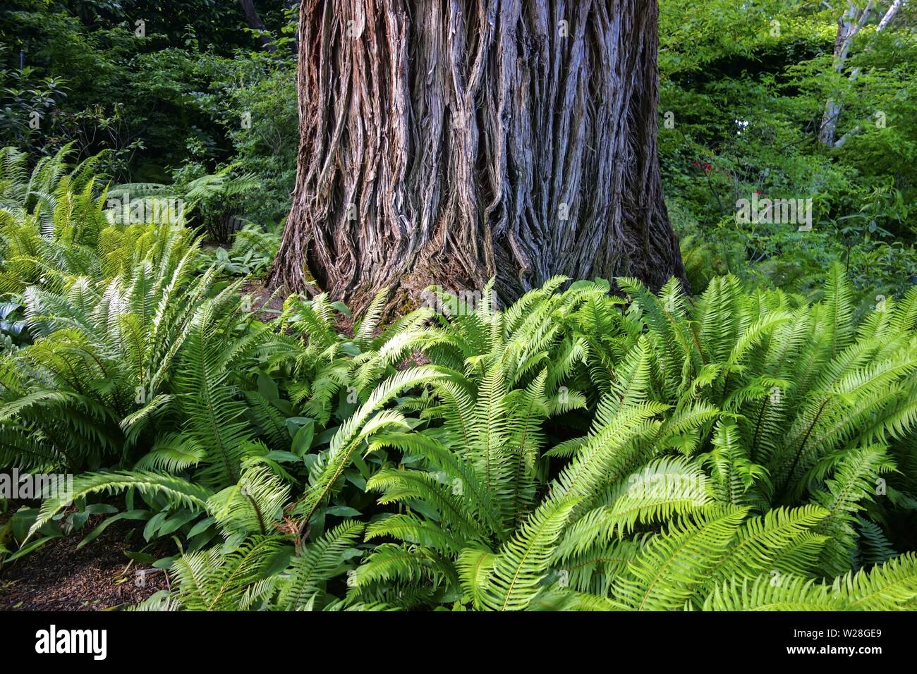 Giant Red Cedar Tree Trunk and Green Fern Plants in Butchart Gardens, Vancouver Island Rainforest Pacific Northwest British Columbia Canada Stock Photo