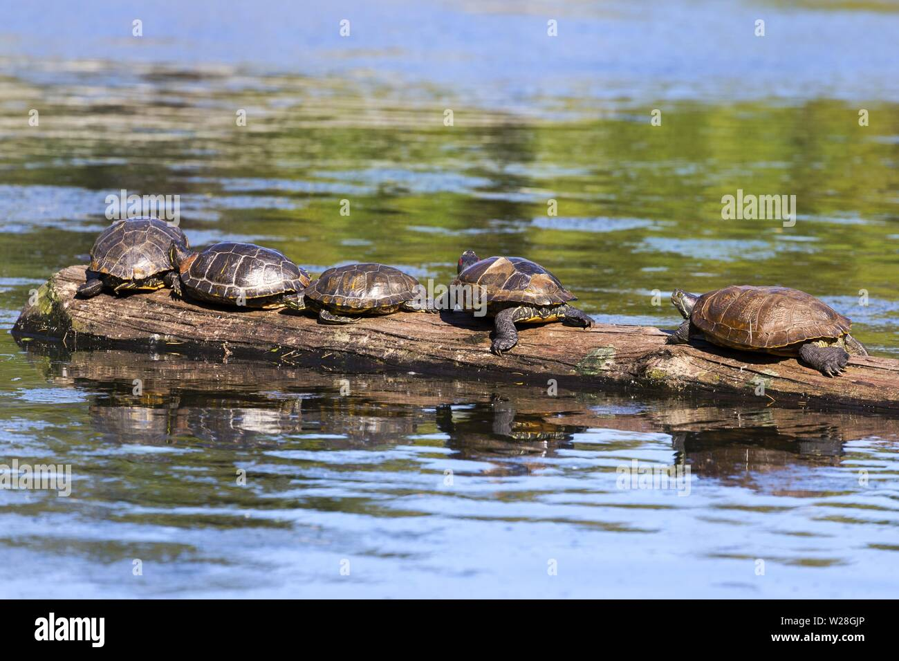Group of Turtles resting on Tree log in calm water of Goodacre Lake. Beacon Hill Park, Vancouver Island Victoria BC Canada - Stock Image