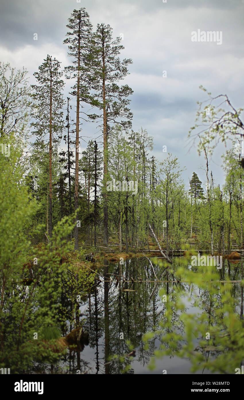 Mire near Granbergsliden in Vasterbotten, Sweden. - Stock Image