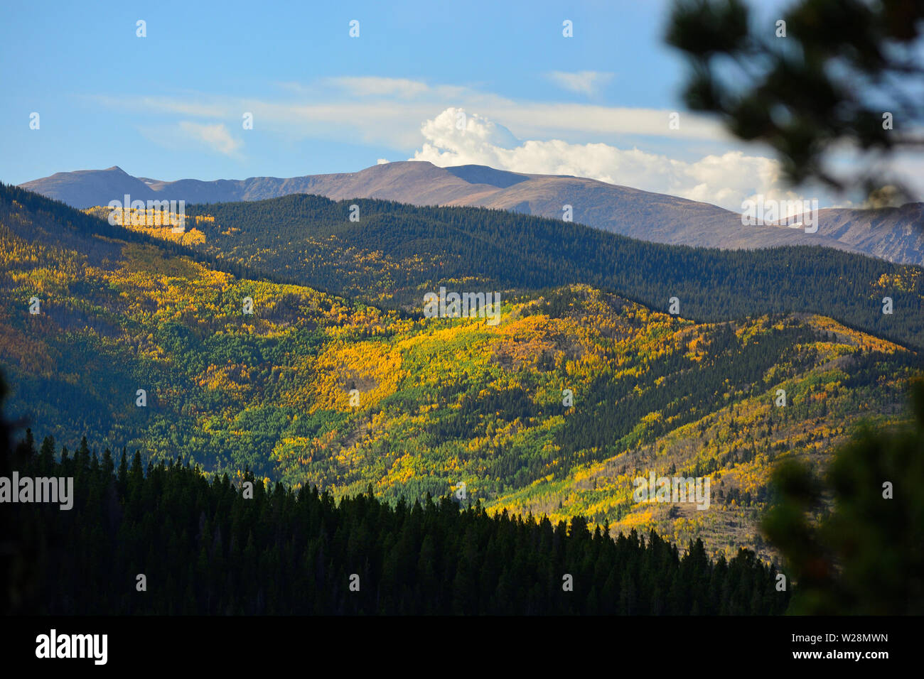 Colorful Fall Leaves from Aspen Trees in the Rocky Mountains - Stock Image