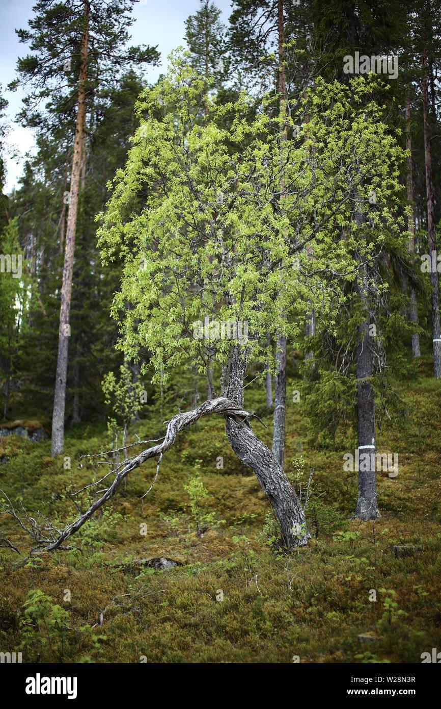 Gnarled willow in Brannberget Naturreservat in Northern Sweden. Stock Photo