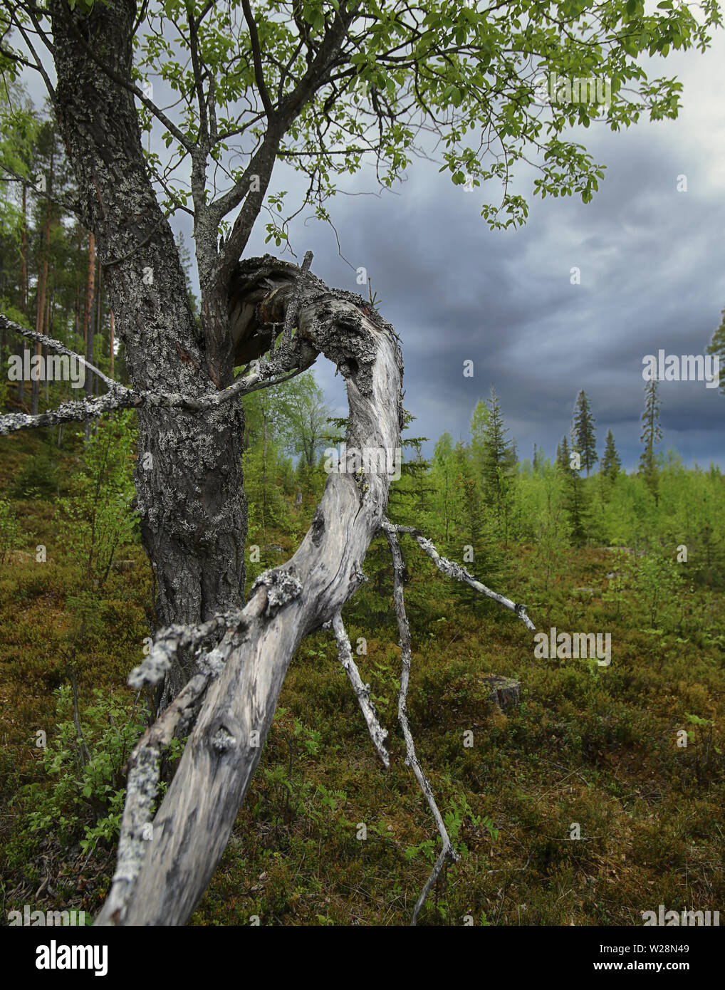 Gnarled willow and dark clouds in Brannberget Naturreservat in Northern Sweden. - Stock Image