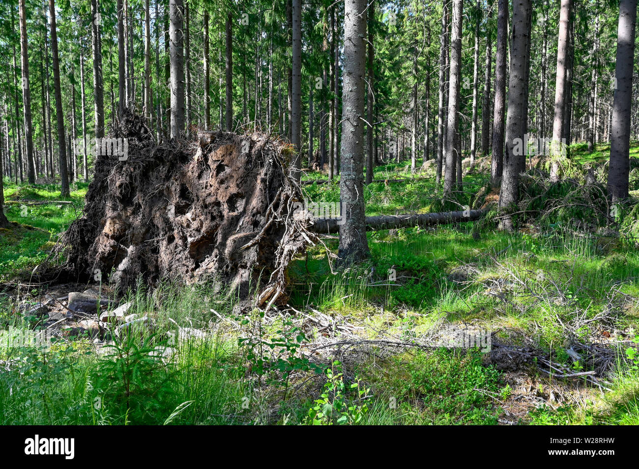 a small windbreak with a big uproot in Varmland Sweden - Stock Image