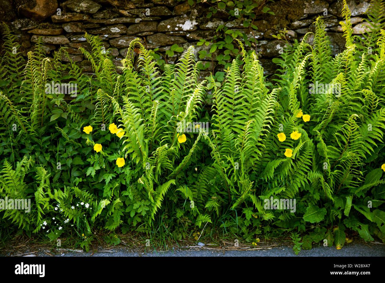 UK; Cumbria; Hawkshead; Near Sawrey; Ees Bridge; roadside ferns and yellow poppies growing on country lane verge Stock Photo