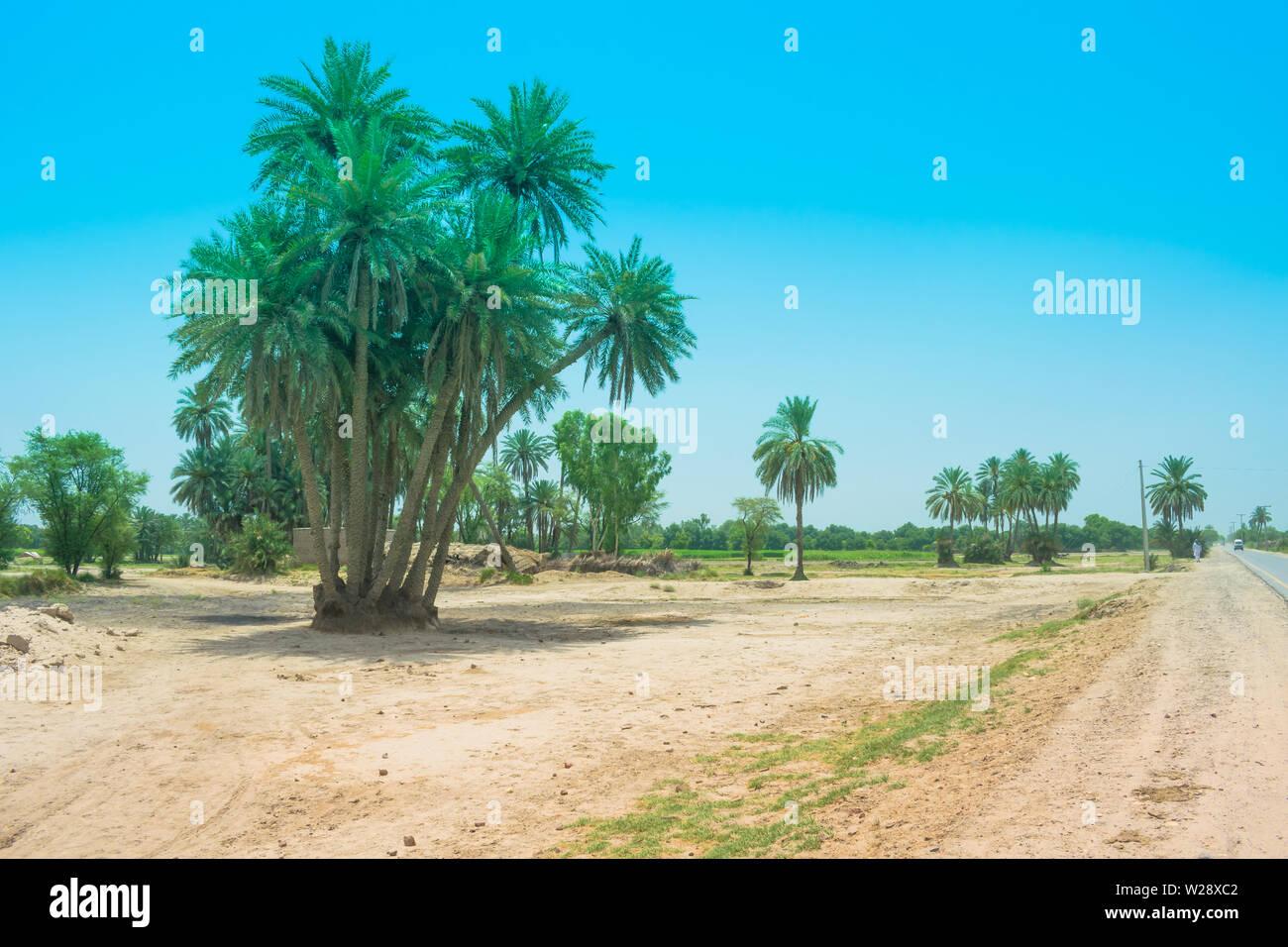 landscape of cluster of date trees in a village punjab,pakistan.date trees near a road side,pakistan. Stock Photo