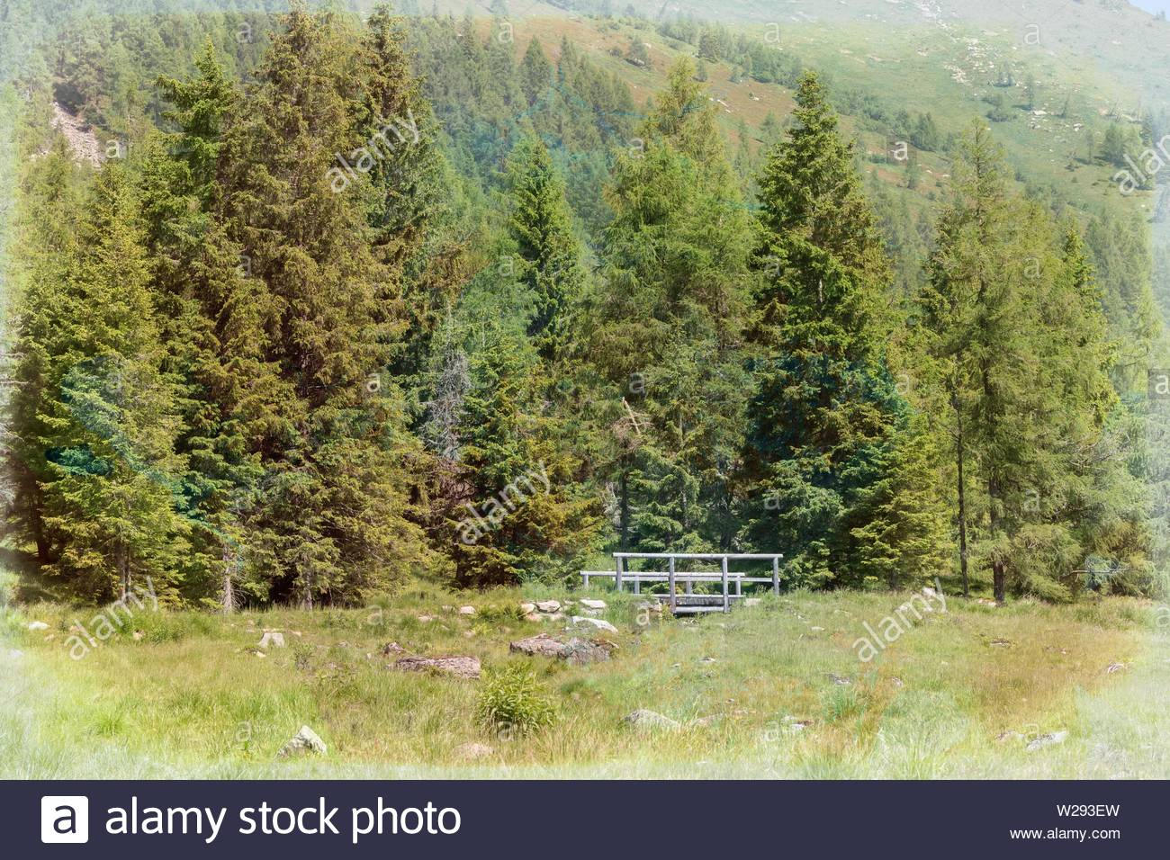 pine  tree in the forest - Stock Image
