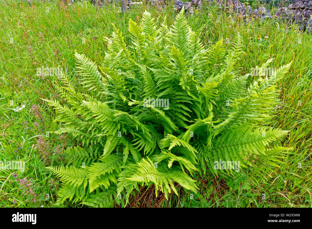 SPEYSIDE WAY SCOTLAND SCALY MALE FERN Dryopteris affinis IN EARLY SUMMER - Stock Image