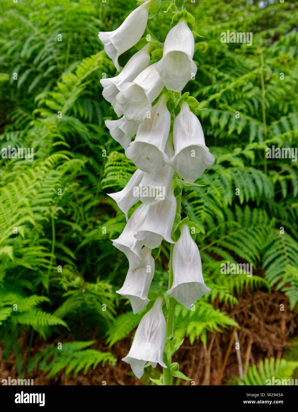 SPEYSIDE WAY SCOTLAND THE WHITE FLOWERS OF THE FOXGLOVE Digitalis purpurea GROWING IN PROFUSION IN EARLY SUMMER Stock Photo