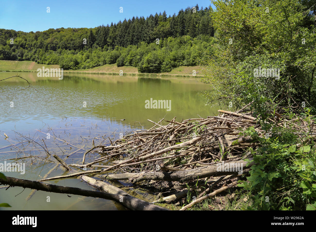 Beavers dwelling on a forest lake - Stock Image