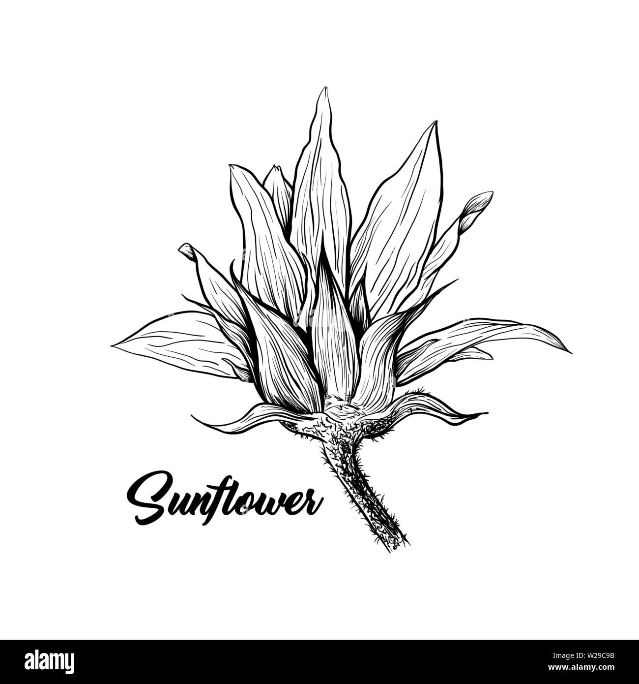 Sunflower hand drawn vector illustration floral ink pen