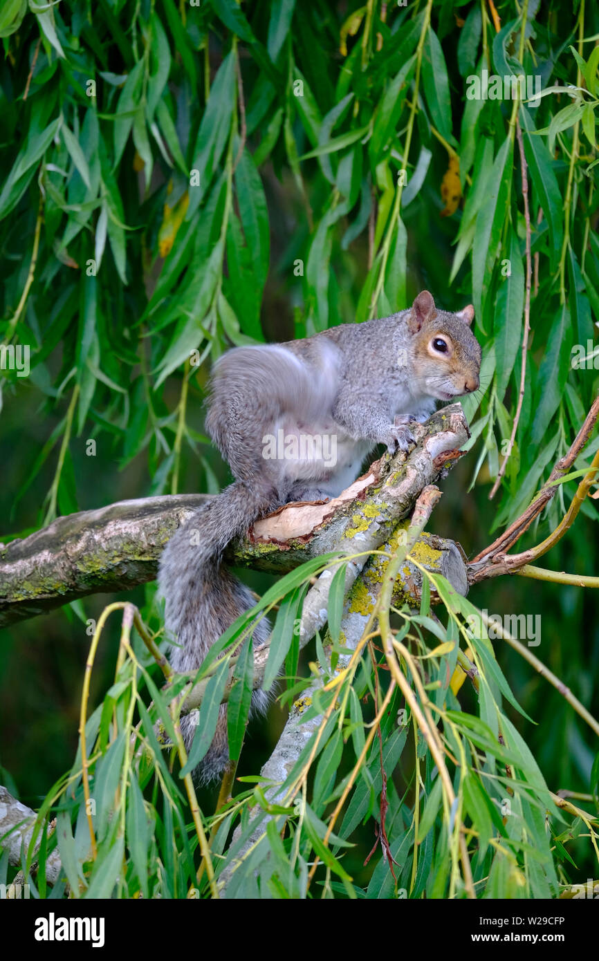 West Sussex, UK. Eastern Grey Squirrel (Sciurus carolinensis) sitting on the branch of a Weeping Willow (salix babylonica) tree and having a  scratch - Stock Image