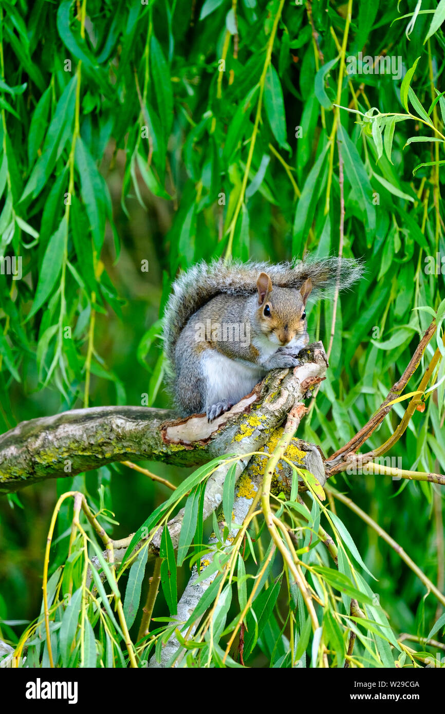 West Sussex, UK. Eastern Grey Squirrel (Sciurus carolinensis) sitting on the branch of a Weeping Willow (salix babylonica) tree looking at camera - Stock Image