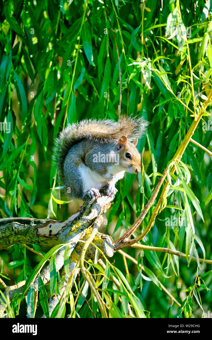 West Sussex, UK. Eastern Grey Squirrel (Sciurus carolinensis) sitting on the branch of a Weeping Willow (salix babylonica) tree - Stock Image