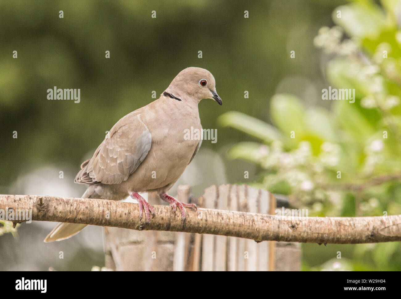 Collared Dove, perched on a branch in a British Garden in Spring, facing left and enjoying the sunshine - Stock Image