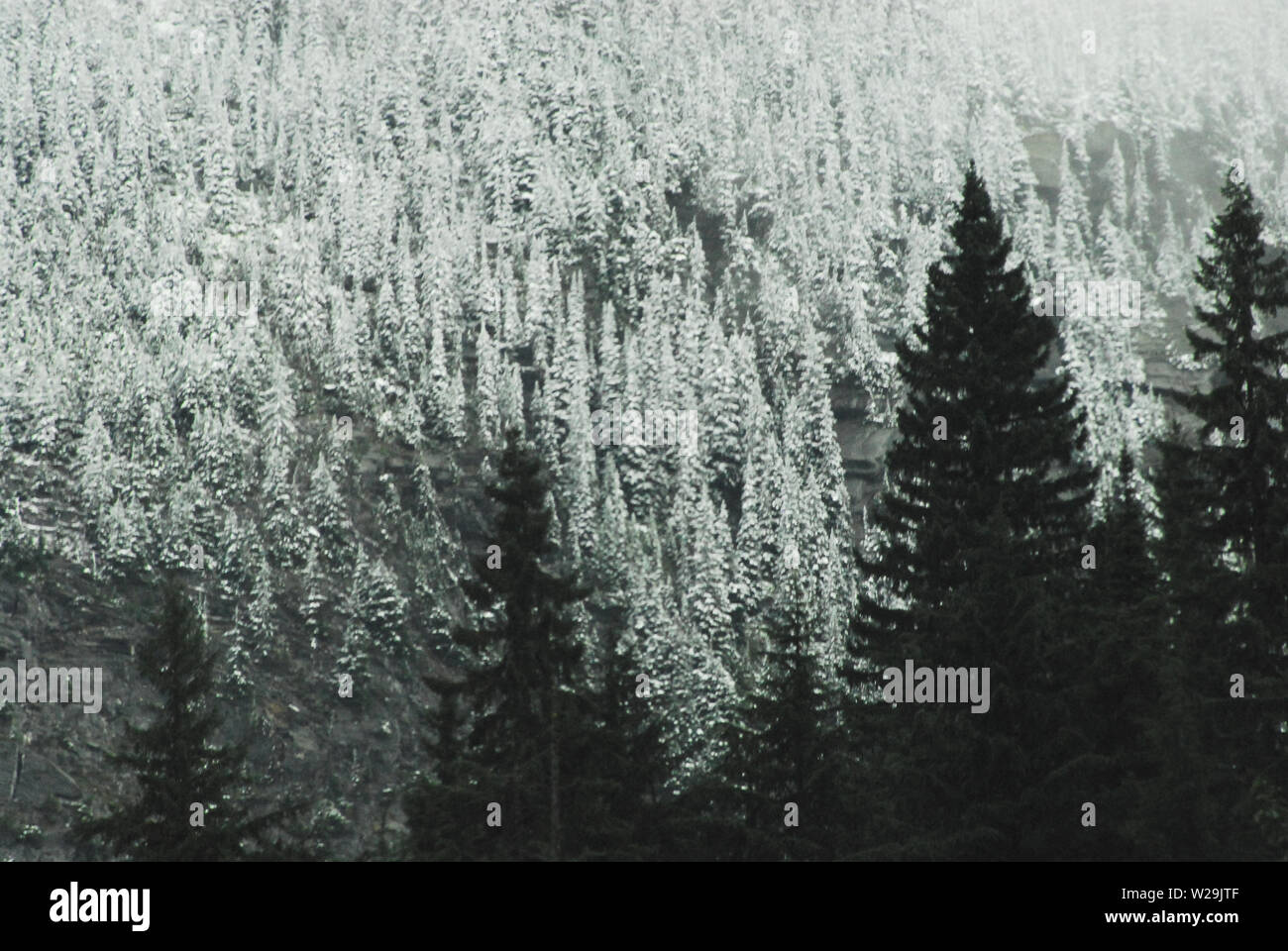 Gorgeous contrasts of Winter snow covered Conifer forests in the mountains of British Columbia, Canada. - Stock Image