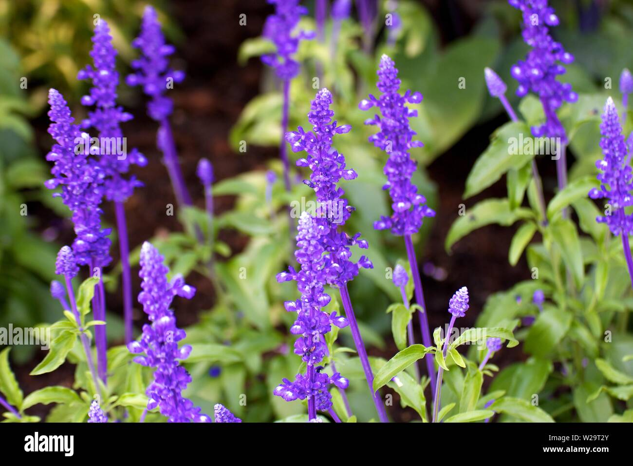 Purple lavender - Stock Image