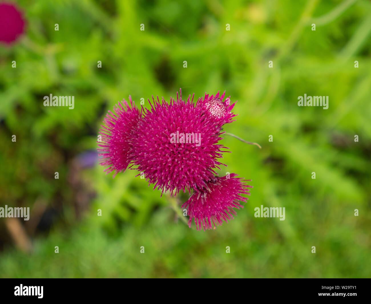 Bright pink Cirsium Rivulare flower head - Stock Image